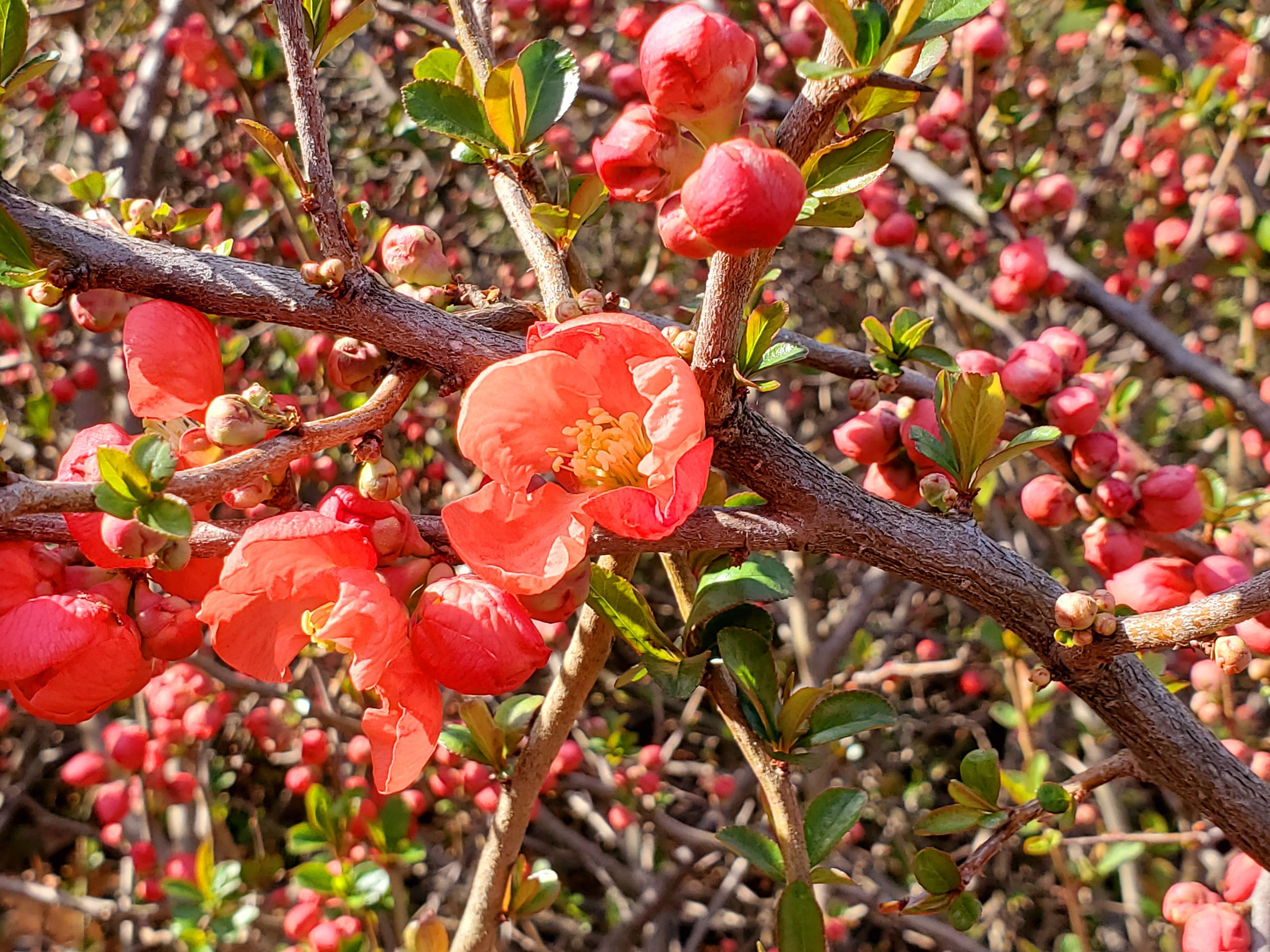 Ellen X. Silverberg - Flowering quince at Orchard Arboretum / Amherst